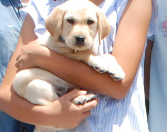 盲導犬候補犬の子犬ウィニー